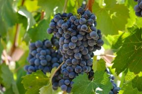 Sonoma Valley Grapes